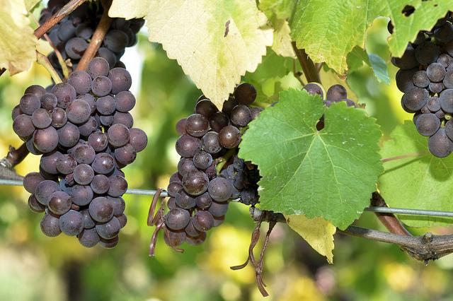 山梨なら1日で【ぶどうからワインができるまで】を体験できる!オリジナルワインを作る旅プランを考えてみた