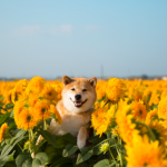 ゴッホのひまわりのモデルに会ってきたよ!柴犬まるの茨城探検記