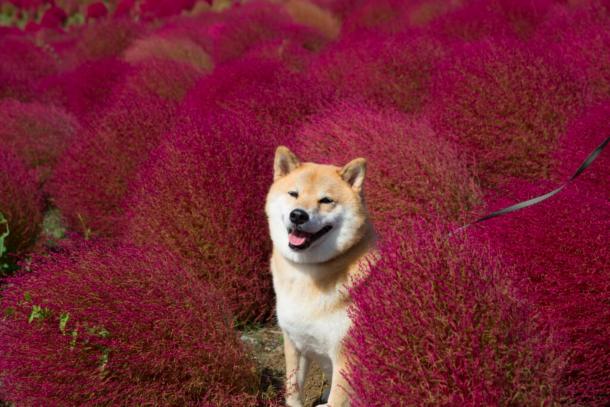 【写真集の舞台にも!!】柴犬まるが年に何度も通う国営ひたち海浜公園の魅力とは