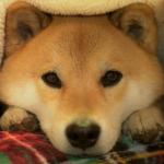 みんないくつ知ってる?柴犬まるが紹介する犬に関する4つのトリビア-イベント情報あり