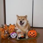 【最初はカボチャじゃなくて◯◯だった!?】柴犬まるが語るハロウィンの由来