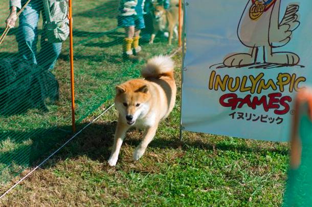 柴犬まるは実は運動上手!?体育の秋にぴったりな犬の運動会イヌリンピックとは