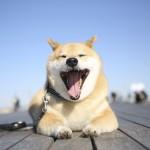 【画像あり】柴犬まるの3冊目の写真集が発売されるよ!