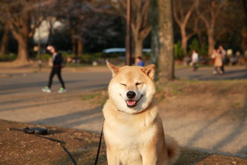 柴犬まるの「東京・谷根千さんぽ」~不忍の池へ行くの巻~