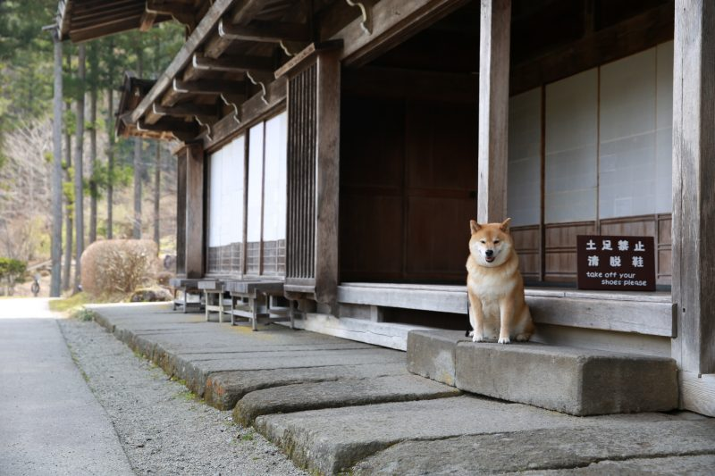 柴犬まるが紹介する岐阜の旅(後編)~まる、合掌造りの家でしっぽり~