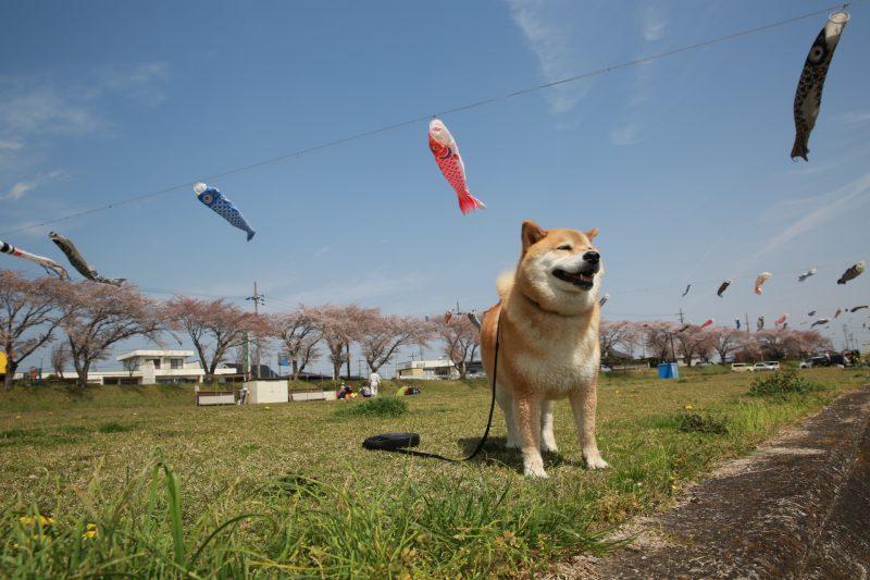 柴犬まるが紹介する岐阜の旅(番外編)~まる、端午の節句が待ちきれない!~