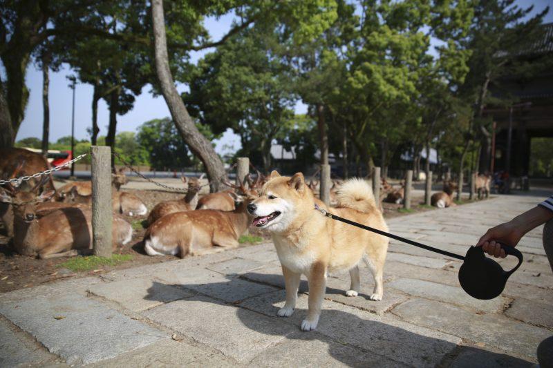 柴犬まる、鹿さんに出会う!緑がきれいな東大寺・春日大社を歩いたよ