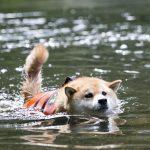 柴犬まる、全力で水遊び!都内なのに自然豊かなおすすめスポット