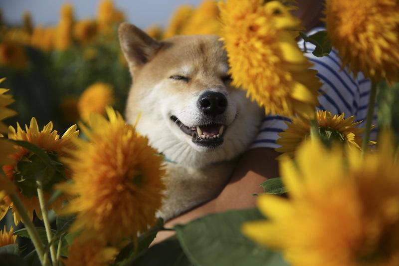 どんな写真が撮れたかな?柴犬まる、9月でも真っ盛りのひまわり畑へ行く