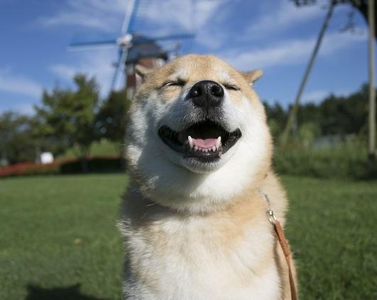 柴犬まる、牧場の芝生で大はしゃぎ!イベントのお知らせもあるよ
