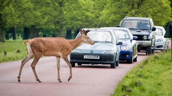 London, UK - May 16, 2016: Deer crossing road as traffic waits.