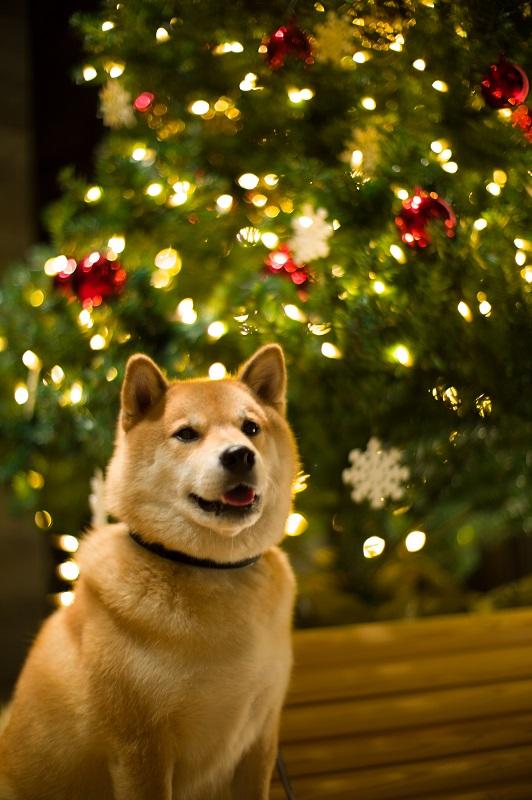 柴犬まる トトロの森で大冒険! クリスマスショットもサービスだよ