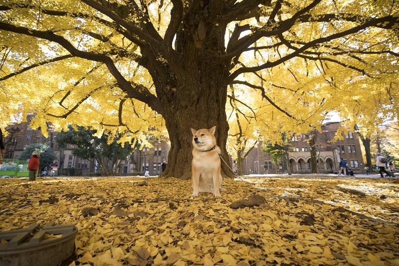 柴犬まる、走る走る! 都内でおすすめの紅葉スポットを紹介するよ