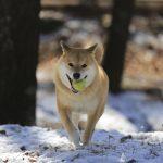 柴は喜び庭駆け回る♪ 柴犬まるおすすめの雪遊びスポット5選
