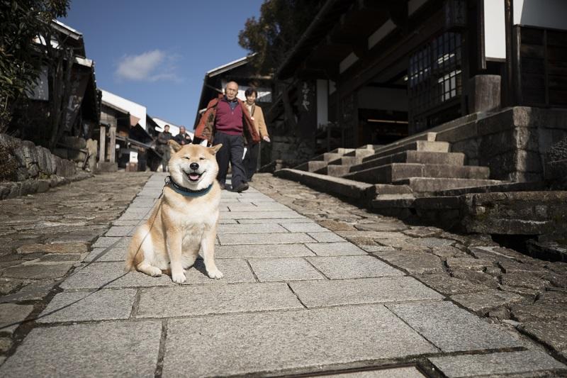 柴犬まる、岐阜県に行く! 昔ながらの古い街並みにわくわく
