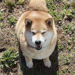 柴犬まる、群馬県を歩く!高崎観光スポットにそっくりさんも登場