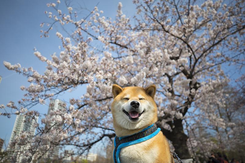 菜の花、桜…… 柴犬まるが春のお花見スポットをお散歩するよ
