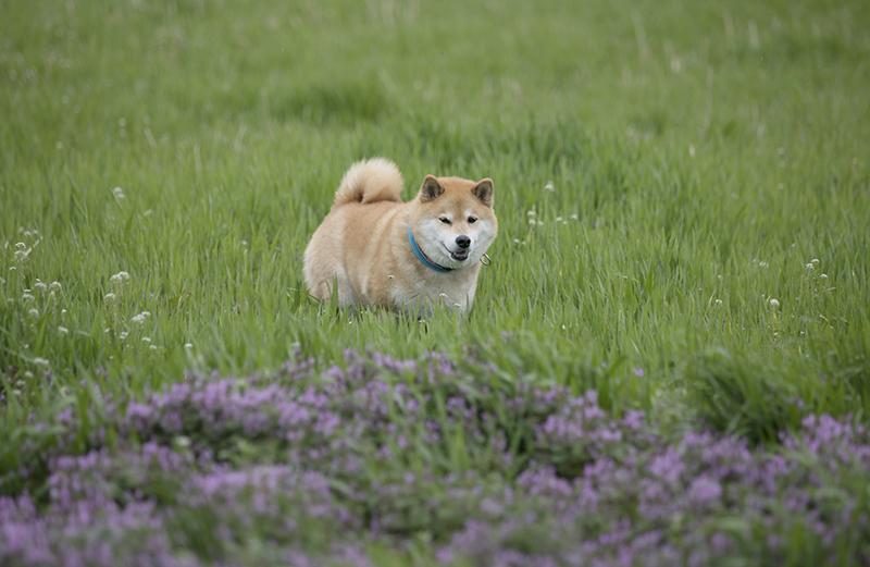 4月も後半!柴犬まる、桜前線を追っかけて宮城県へ行く(前編)