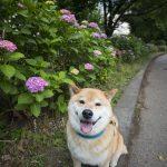 じめじめ梅雨でも元気にお散歩!柴犬まる宮城県にて放牧中
