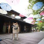 6月も残りわずか!柴犬まる、軽井沢で涼を取る