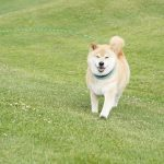 北海道旅行記念!柴犬まるが教えるペットとの旅の手段5選