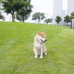 ワンコ必見のペットウェルカム施設へ!柴犬まる、ららぽーと豊洲でリア充体験