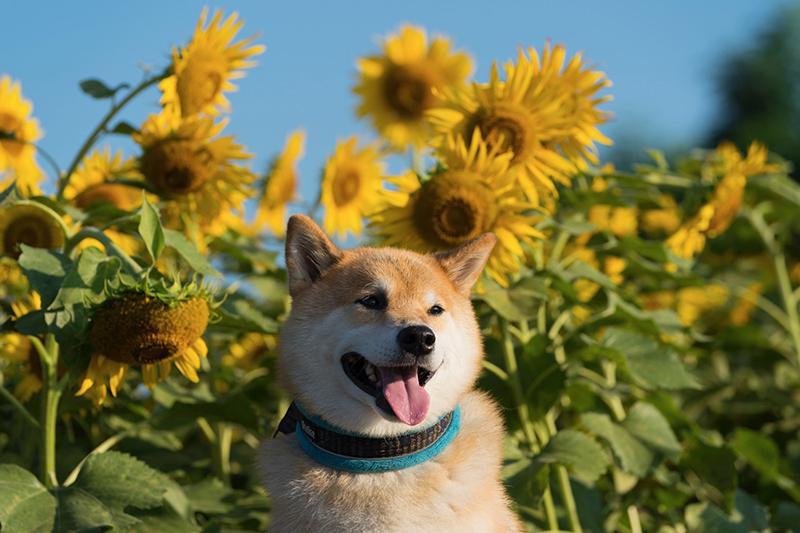 8月の主役といえばひまわり!柴犬まる、夏真っ盛りのひまわり畑へ行く