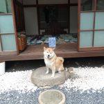岡山県初上陸!柴犬まる、夜の倉敷美観地区や直島へ行く!