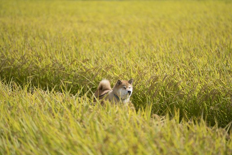 福島県郡山市初上陸!柴犬まるのツーリズム