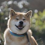 秋の蓼科(たてしな)をぶらりお散歩!柴犬まるの紅葉満喫プラン【前編】