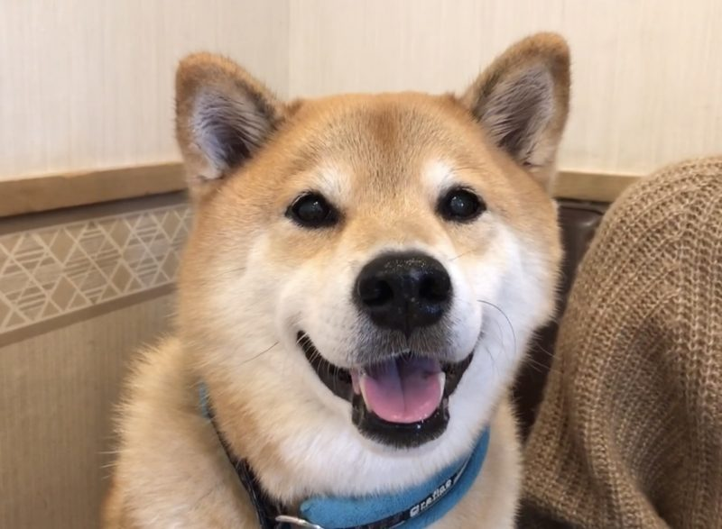 柴犬まる10歳の誕生日!お台場のわんこ連れOKスポットへ行く