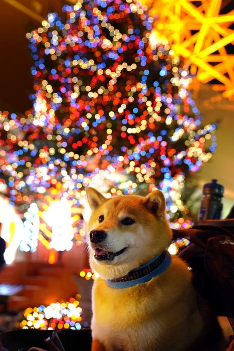 岡山イベントレポートもお届け!柴犬まる、クリスマスの思い出