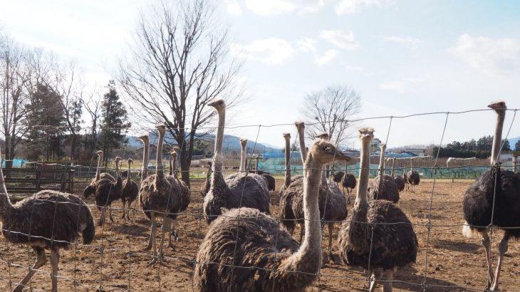 200羽のダチョウがお出迎え!動物と間近でふれあえる、茨城の「ダチョウ王国 石岡ファーム」までドライブ!