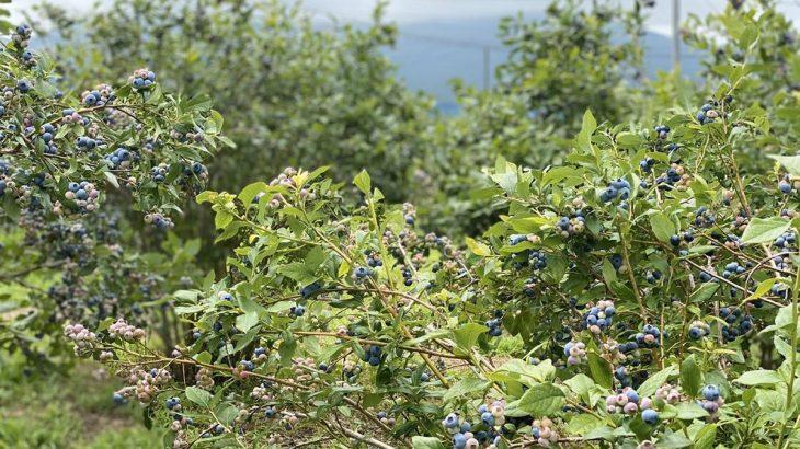 試食しながらブルーベリー狩りができる!茨城県石岡市「観光農園やさとブルーベリーファーム」までドライブ
